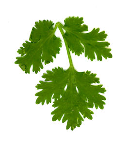 Photo of a sprig of cilantro