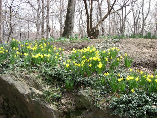 Photo of daffodils growing along a rocky embankment, taken by Joana Miranda
