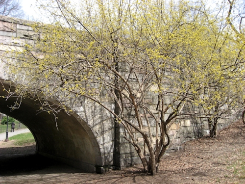 Photo of flowering tree in Central Park, taken by Joana Miranda