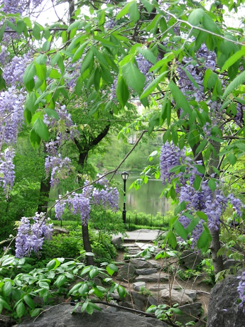 Photo of wisteria over stone path in Central Park, taken by Joana Miranda