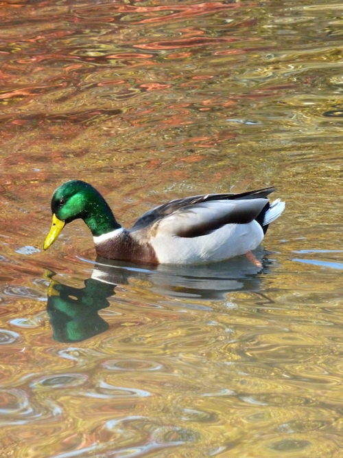 Photo of duck looking for fish, taken by Joana Miranda