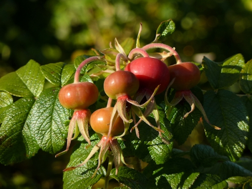 Photo of rose hips, taken by Joana Miranda