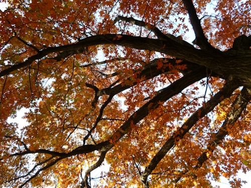 Photo of tree with red leaves, taken by Joana Miranda