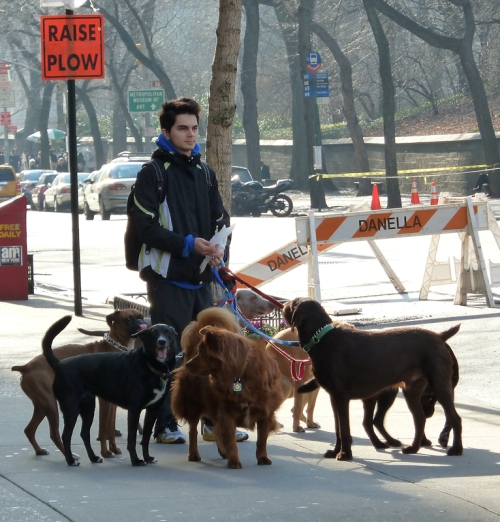 Photo of dog walker with pack of 7 dogs on Upper East Side, taken by Joana Miranda