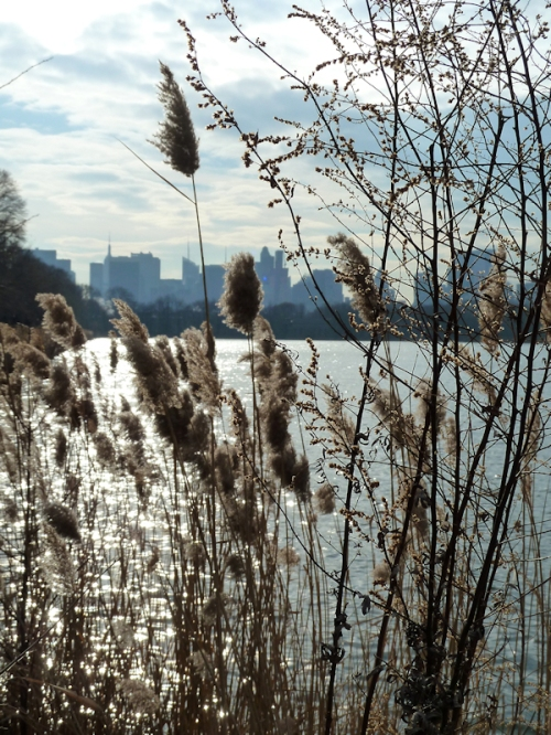 Photo of sunlight through the reeds at the Jacqueline Kennedy Onassis Reservoir, taken by Joana Miranda
