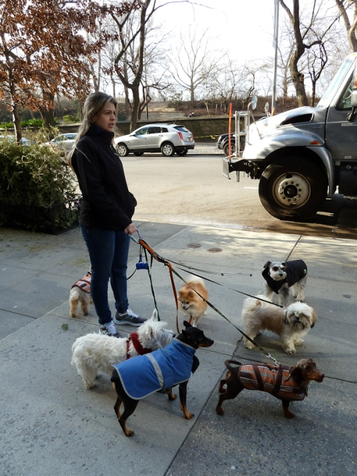 "Photo of dog walker with 7 small ""toy"" dogs, taken by Joana Miranda"