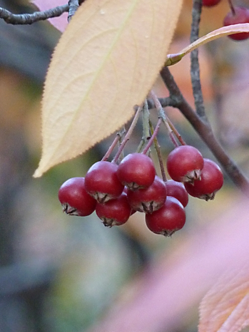 Photo of cluster of berries, taken by Joana Miranda