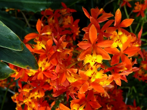 Photo of fiery orange orchids taken by Joana Miranda