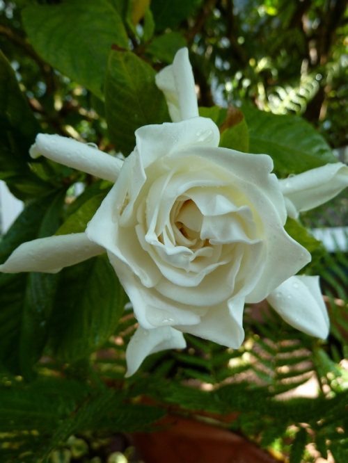 Photo of white gardenia, taken by Joana Miranda