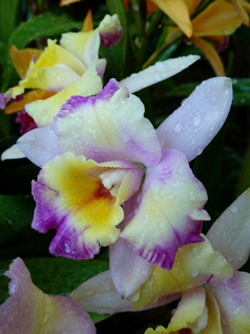 Photo of purple, yellow and white orchid taken by Joana Miranda