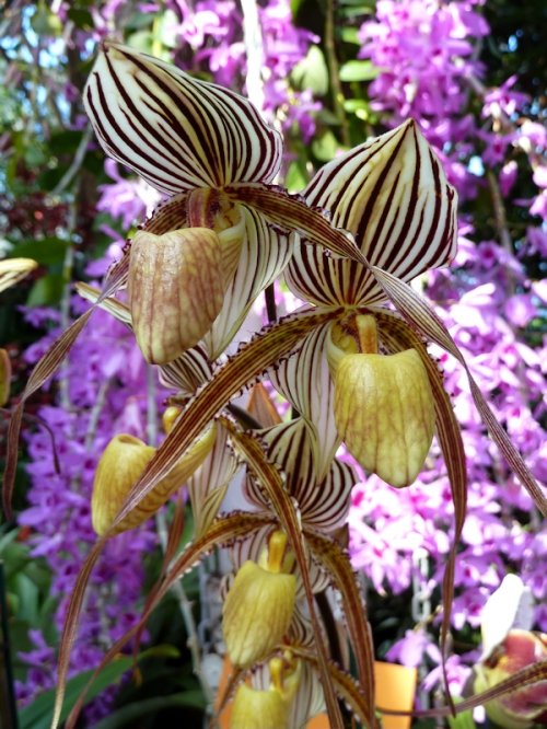 Photo of exotic striped brown and yellow orchids, taken by Joana Miranda