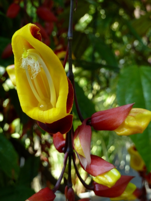 Yellow and maroon orchids, photo taken by Joana Miranda
