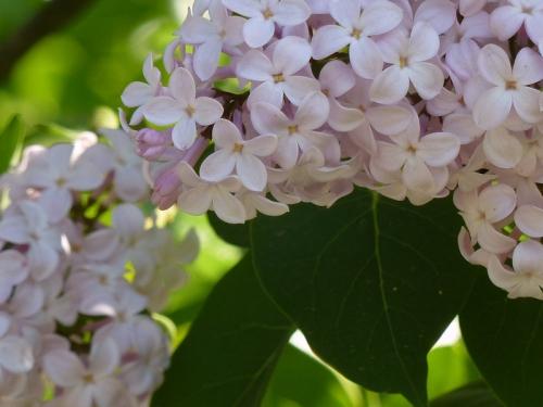 Photo of lilacs at Conservatory Garden, taken by Joana Miranda