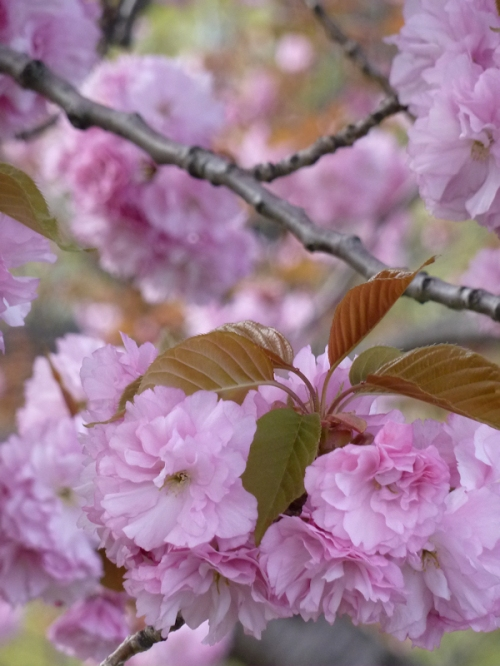 Photo of pink cherry blossoms, taken by Joana Miranda