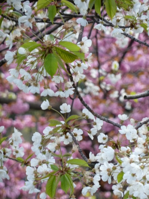 Photo of white and pink flowering trees in Central Park, taken by Joana Miranda