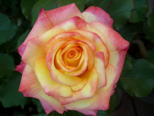 Photo of blush rose taken by Joana Miranda