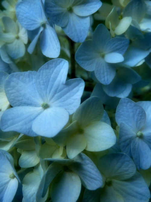 Photo of blue hydrangea flowers, taken by Joana Miranda