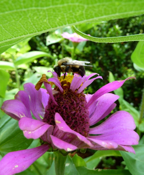 Photo of bumble bee on pink flower, taken by Joana Miranda