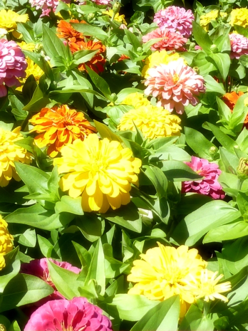 Photo of bed of colorful dahlias, taken by Joana Miranda