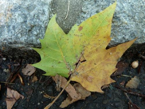 Photo of first fall leaf, taken by Joana Miranda