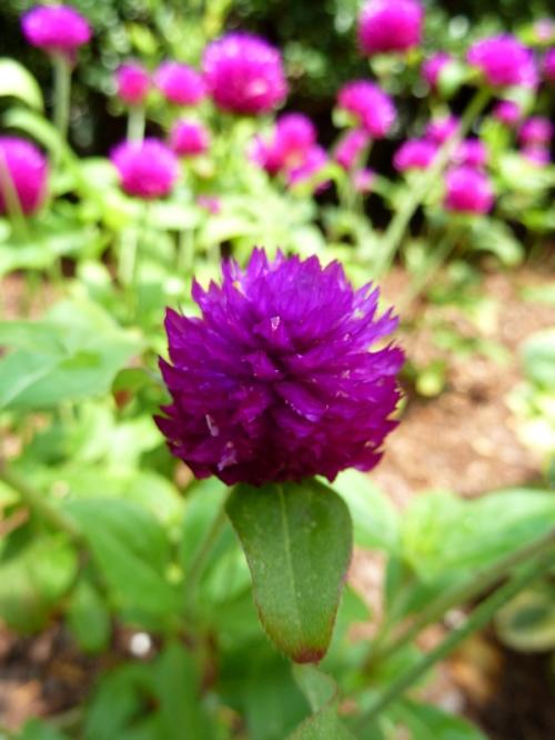 Photo of purple bee balm flower, taken by Joana Miranda