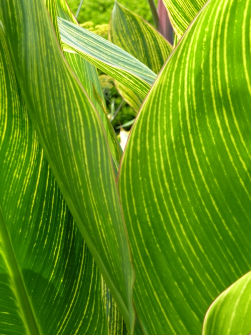 Photo of striped hasta leaves, taken by Joana Miranda