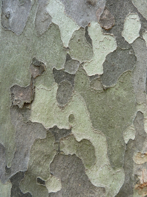 "Photo of ""camouflage"" tree bark in Central Park, taken by Joana Miranda"