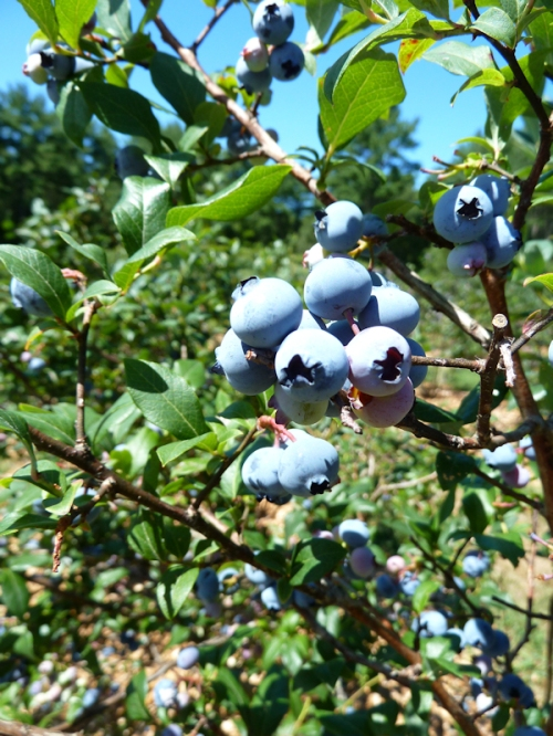 Photo of blueray blueberries on a bush, taken by Joana Miranda