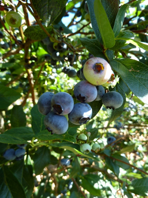 Photo of Patriot variety of blueberries, taken by Joana Miranda