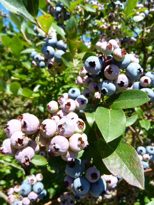 Photo of ripening blueberries, taken by Joana Miranda