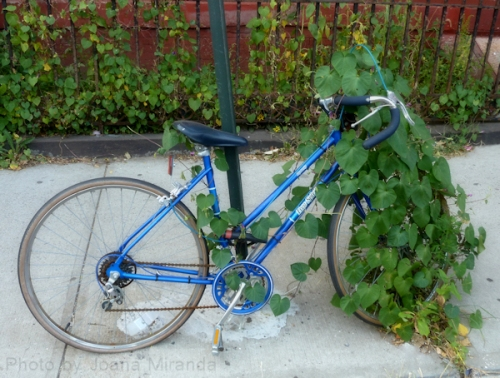 Photo of an abandoned bike covered with a morning glory plant, taken by Joana Miranda