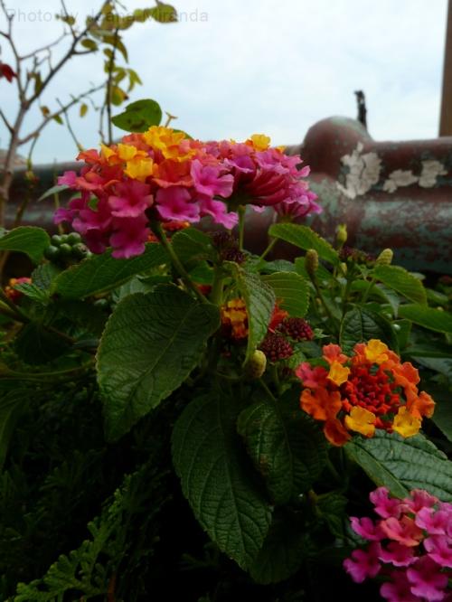 Photo of pink and orange flowers blooming on Tom's terrace, taken by Joana Miranda