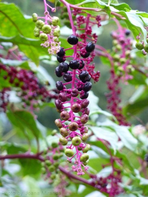 Photo of multi-colored berries on bush in Central Park, taken by Joana Miranda