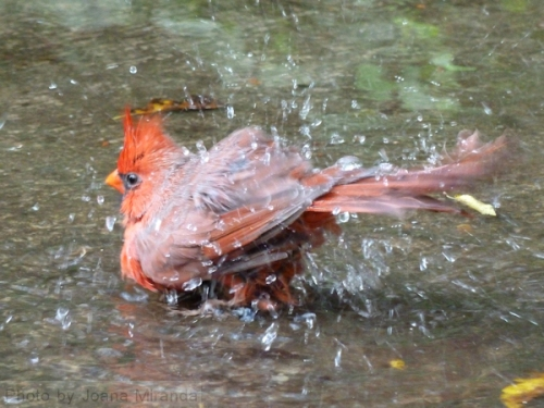 Photo of bird taking a bath in a puddle, taken by Joana Miranda