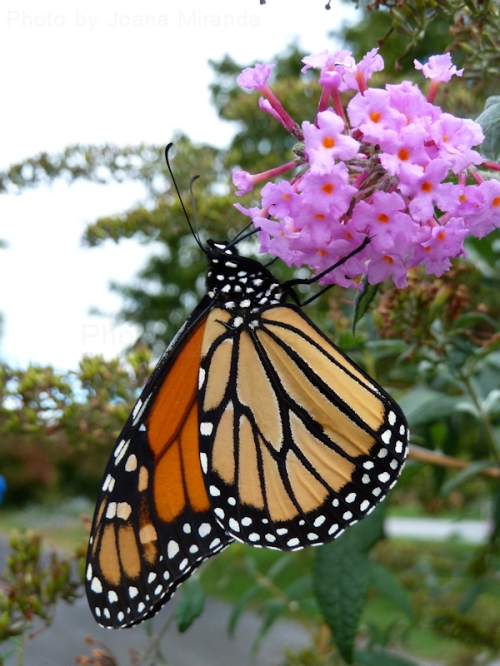 Photo of Monarch butterfly on purple flower, taken by Joana Miranda