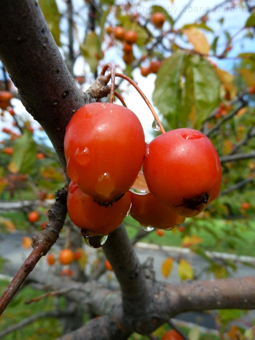 Photo of crab apples dripping with rain drops, taken by Joana Miranda