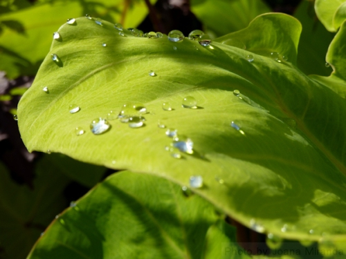 "Photo of large green leaves ""decorated"" with silver rain drops, taken by Joana Miranda"