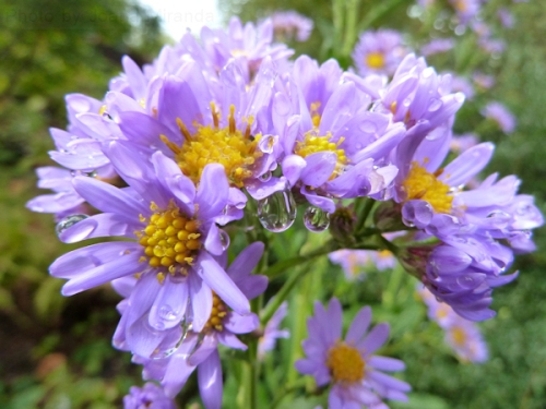 Photo of purple and orange daisies after the rain, taken by Joana Miranda