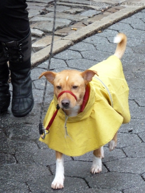 Yellow slicker dog