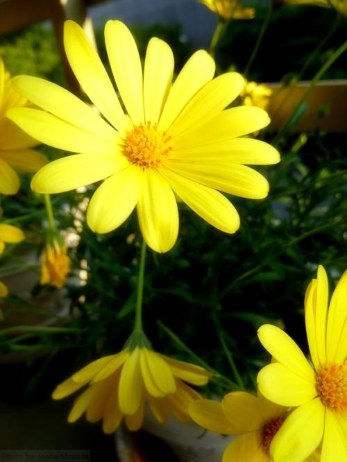yellow daisy2