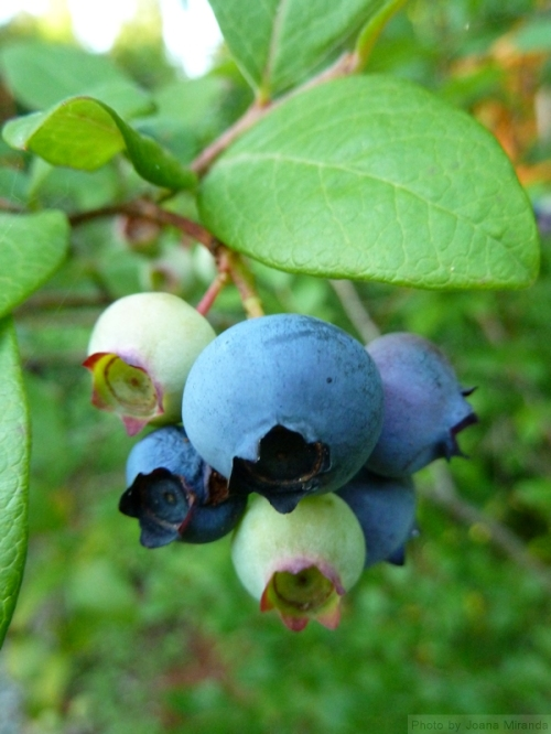blueberries on the bush2