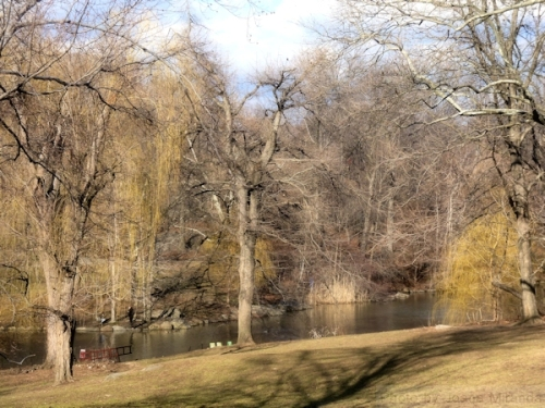 weeping willows by the pond