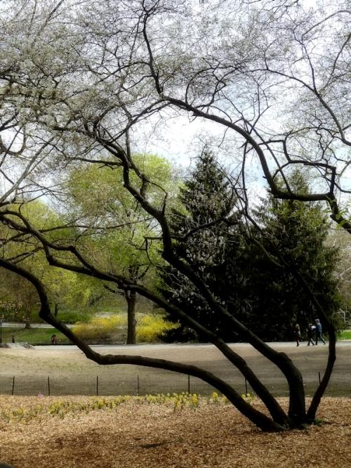 spring tree in Central Park