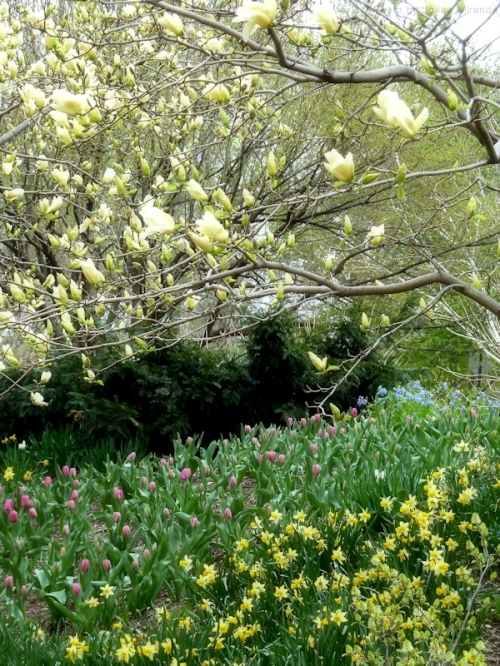 yellow magnolia and tulips
