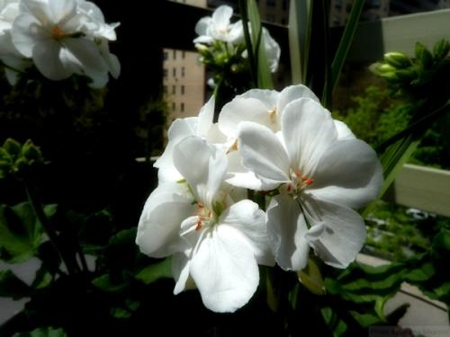 close up of white geraniums