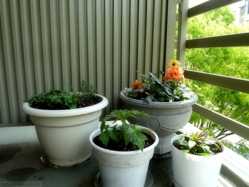 herbs tomato and flower pots