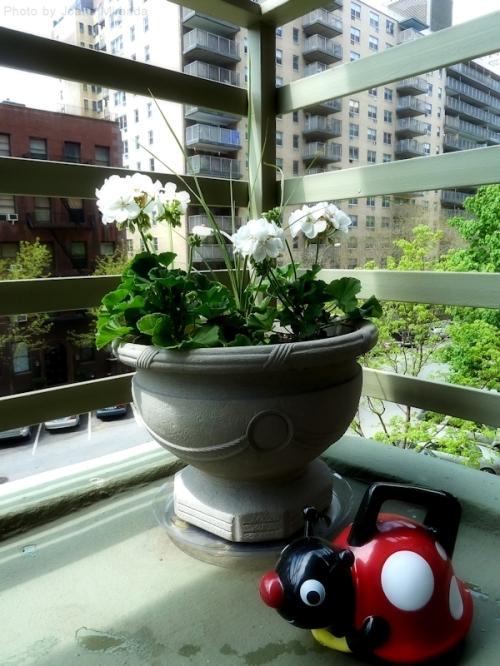 pedestal pot with white geraniums