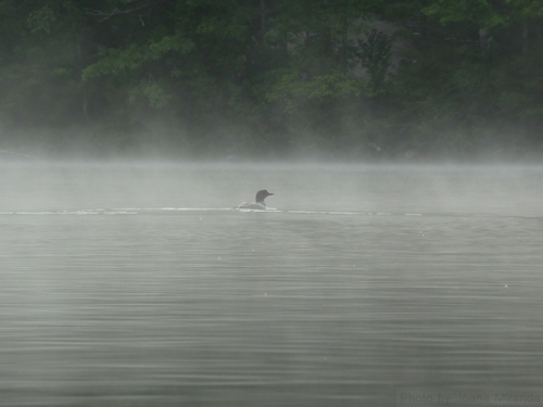 Loon swimming in the fog