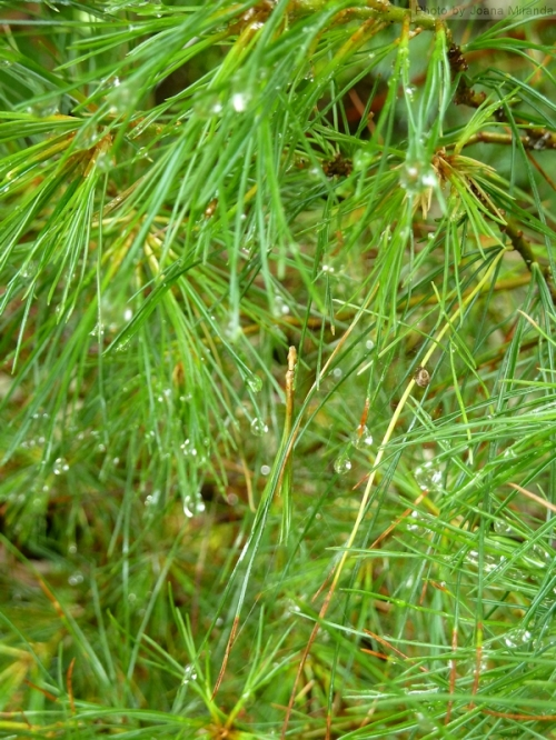 pine tree after the rain