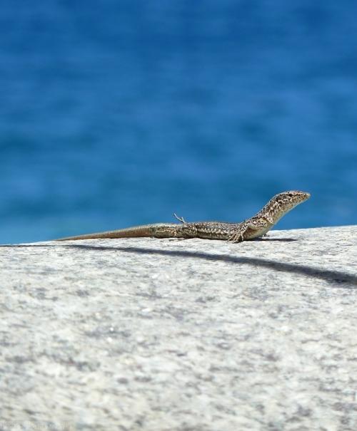 lizard in Madeira